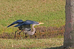 Heron, Ready for Take Off
