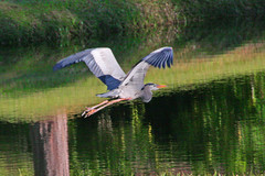 Great Blue Heron, Flying over Retention Pond, Pinellas County, Florida