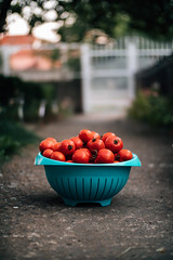 Homegrown tomatoes in a bowl on a concrete walkway. Ready for tomato sauce preparation