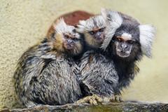 Three marmosets!
