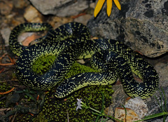 Speckled Kingsnake (Lampropeltis holbrooki)
