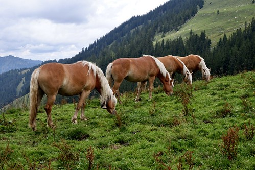 Tyrolean Haflinger on a high alpine pasture on the mountain Watles in the Sesvenna mountain group in South Tyrol (Northern Italy) at an altitude of 2500 meters above sea level