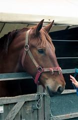 Heavey Horses Suffolk Punch