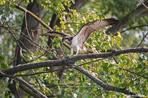Falco pescatore _003
