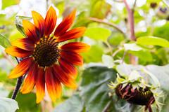 Sunflower still in bloom in September