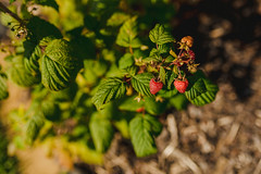 Group Of A Fresh Red Raspberries On Branch With Green Leaves
