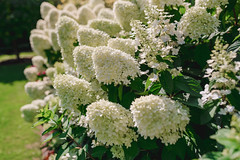 Cluster Of White Hydrangea Flowers