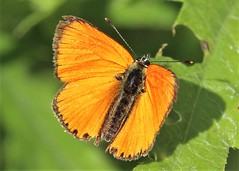 Lycaena dispar on the leaf