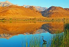 Blue Heron Sunrise, Lake Diaz, Sierra Nevada CA 2016