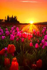 Sunrise over tulips