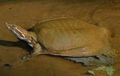 Midland Smooth Softshell Turtle (Apalone mutica mutica)