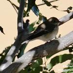 Aves en el Paseo del Norte de La Guardia (Toledo) 8-9-2020