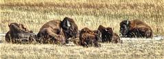 Bison Herd - Yellowstone National Park