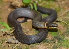 Prairie ring neck snake (Diadophis punctatus)