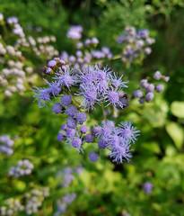 Blue Mistflower Conoclinium coelestinum