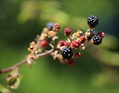 Les fruits du roncier