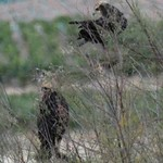 Aves en las lagunas de La Guardia (Toledo) 8-9-2020