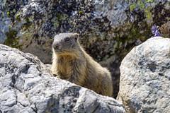 Close marmot