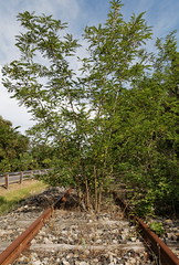 Tree in railway