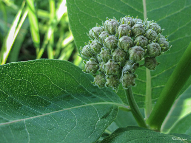 Photo:Common Milkweed buds -  Boutons d'Asclépiade de Syrie By monteregina