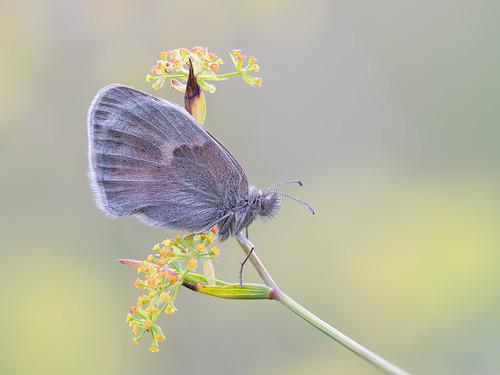 Kleines Wiesenvögelchen - Coenonympha pamphilus