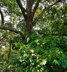 Shumard Oak Quercus shumardii