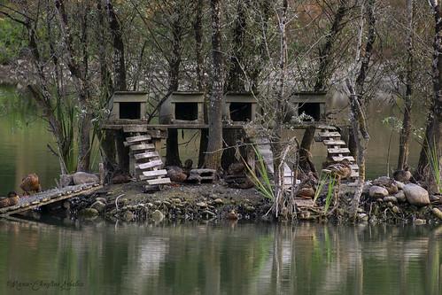 L'île aux canards du Lacot.