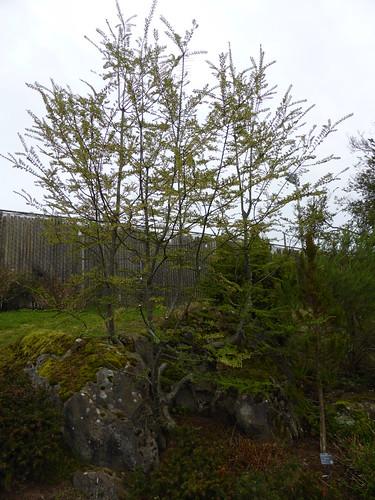 Nothofagus antarctica 'Benmore' at UBC Botanical Garden