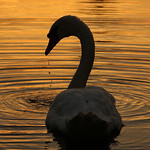 Sunset Swan by Rob Draper