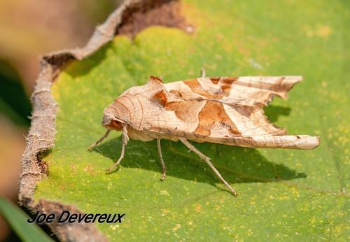 Angel shades moth
