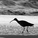Whimbrel in Surf by trevor chapman