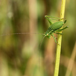 Speckled Bush-cricket by trevor chapman