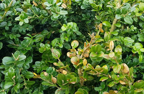 vom Buchsbaumzünsler (Cydalima perspectalis) befallener Buchsbaum