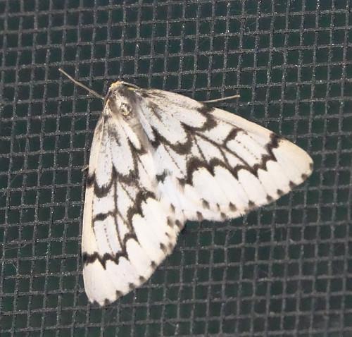 Phantom Hemlock Looper Moth
