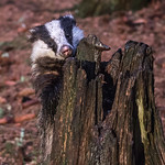 Inquisitive Young Badger by June Sparham