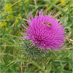 Bugging the Thistle by Peter Fox