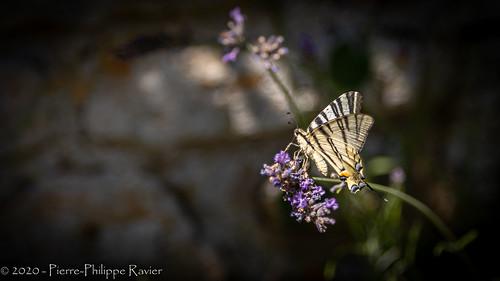 Papillon à Fanlac, Dordogne