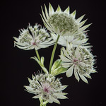 Astrantia by John Fogarty