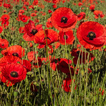 Panshanger poppies by Iain Houston