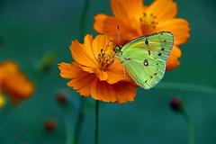 sippin nectar