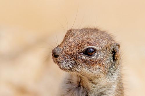 Barbary-Ground-Squirrel-eye_w_0575