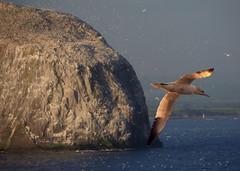 North Sea Bird
