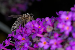 Bee on butterfly-bush