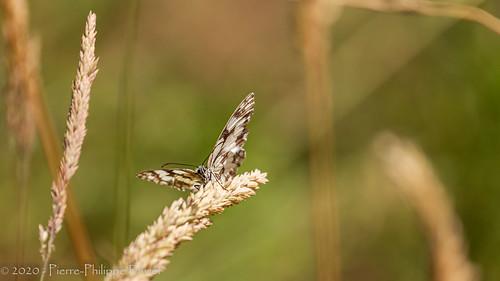 Papillon de Dordogne