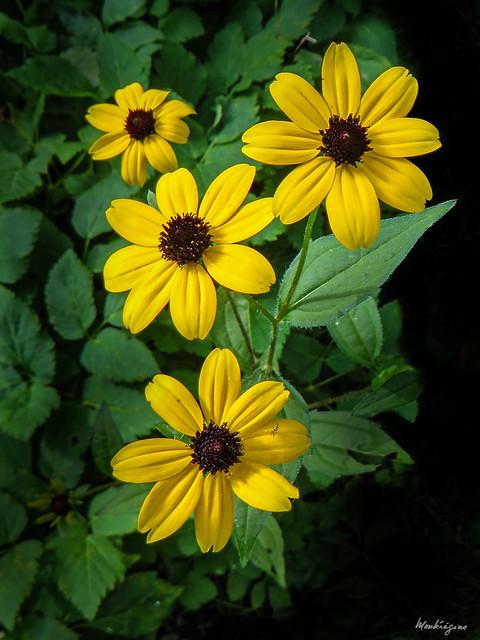 Photo:Brown-Eyed Susan 'Prairie Glow' By monteregina