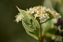 Dogwood Flowering