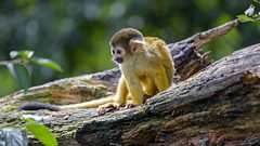 Young squirrel monkey posing well