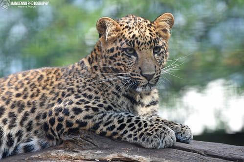 African leopard cub - Pakawipark