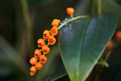 A cascade of orange blooms (Pleurothallis truncata)