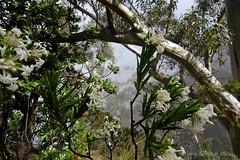 Foggy in Blue Mountains, through Pimelea bush